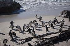 Przylądek Dobrej Nadziei Kapsztad RPA Afryka pingiwny