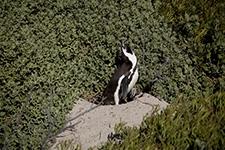 Przylądek Dobrej Nadziei Kapsztad RPA Afryka pingwiny Boulders Beach